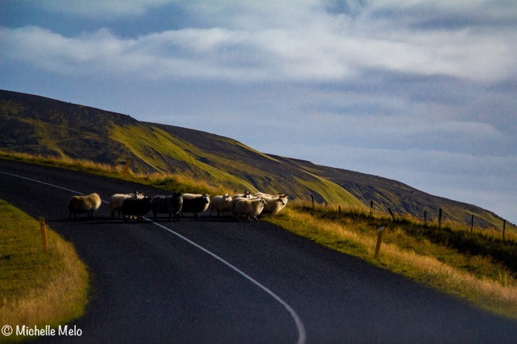 ovelhas-cruzando-a-estrada-1-de-1