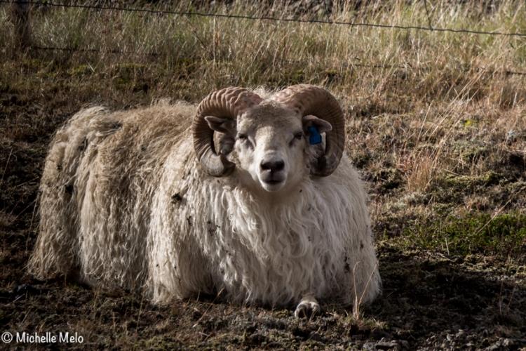 sheep-3-1-de-1